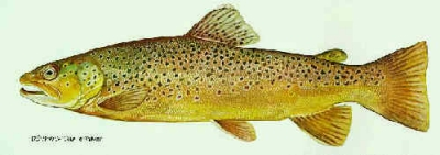 brown trout colorado